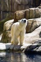 polar bear J1_3727pts
