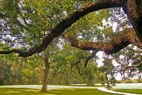 Old Live Oak Tree