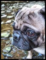 Regal Caezar the Pug