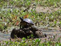 Sunbathing Turtle