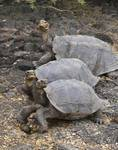 Female tortoises