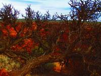 Tree at Chinle, Arizona 4