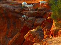 Chevres de Chelly, Chinle, Arizona