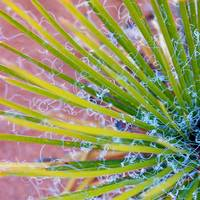 Yucca Abstract 1