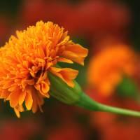Orange Flower Art Prints & Posters by Gilles-David LI