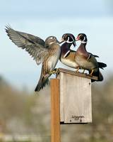 Wood Ducks nesting on bird house