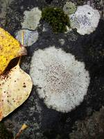 Lichens, leaves