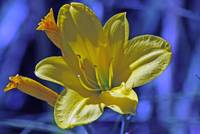yellowlillyinblue