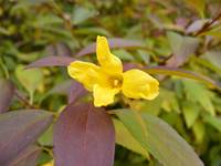 Forsythia in fall