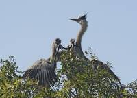 Great Blue Herons Eat Snake