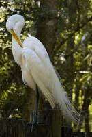 Great Egret With Bend Head
