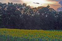 sunsetsunflowers2