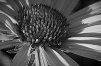 coneflower black and white