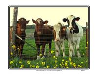Cow Herd, Sonoma California