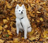 Eskimo Puppy Playing in the Leaves