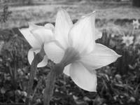 Daffodils in Grayscale