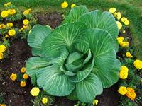 Alaska Giant Cabbage