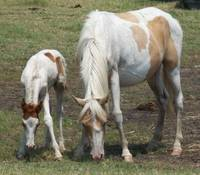 Wild Chincoteague Pony Mare and Foal