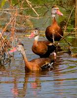 Blackbelly Whistling Ducks #3