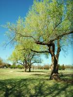 Stately Oklahoma Tree
