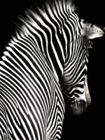 Black and White Zebra with Black Background