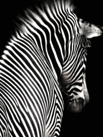Black and White Zebra with
