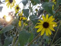 sunflowers and sunlight