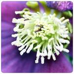 lost in a lenten rose