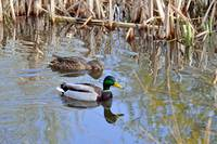 Pair of Mallard Ducks  (16216-RDA)