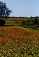 Poppy field and Atlas mountains in Morroco