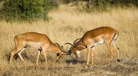 impala bucks spurring