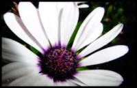 Light Purple Osteospermum 1