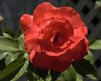 Very Red Rose