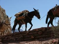 Pack mules on South Kaibab GCNP