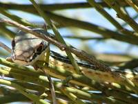 Sonoran Whipsnake in Canotia
