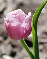 Tulip in Pink