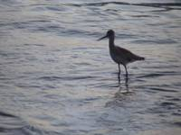 Sand Piper at Dusk