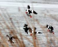 Bufflehead Ducks at Potholes Wildlife Refuge