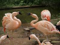 Chatting Flamingoes