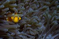 Anemonefish 071707MD030