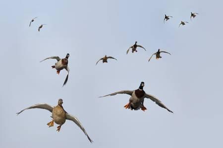 Ducks in Flight Composite-5