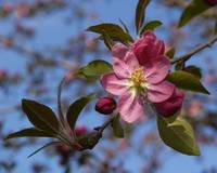 Paris Pink Crabapple