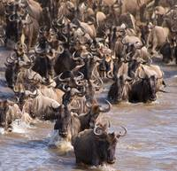 Wildebeest-river-crossing