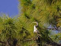 Anhinga Male in Tree