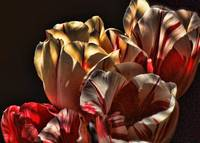 Peppermint Tulips