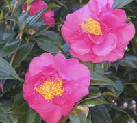 Pair of Pink Camellia's