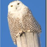 Snowy Owl Art Prints & Posters by Jayne Gulbrand