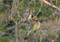 Cedar Waxwing with Rowan Berry