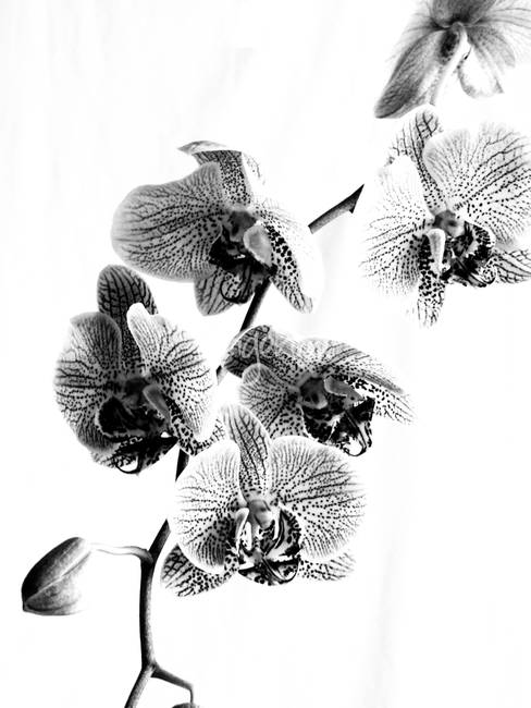 Spotted Phalaenopsis or Moth Orchid in Black and W