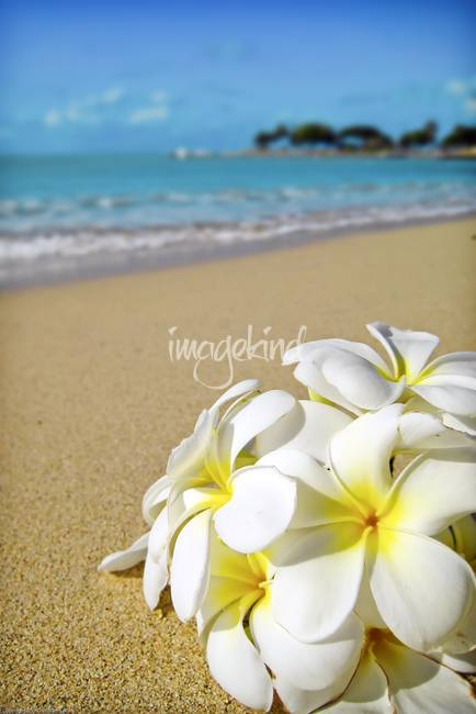 plumeria in hawaii